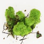 Mousse naturelle Lichen Vert 50 g